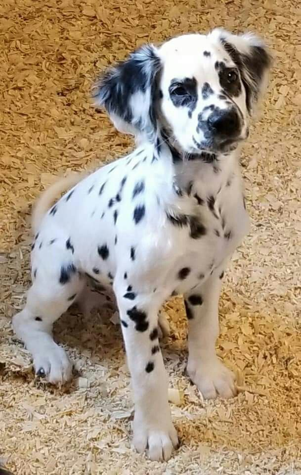 Long Haired Dalmatian Puppy For Sale : haired, dalmatian, puppy, Haired, Dalmatian, Puppy, Online