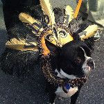 """""""Who Dat Dog""""  Krewe of Barkus Mardi Gras parade in New Orleans"""