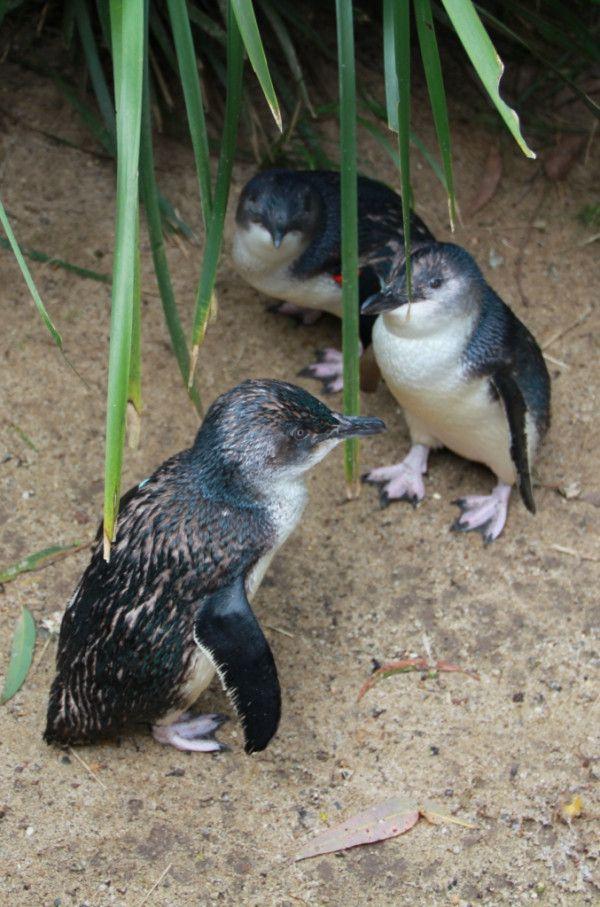 Fairy Penguins #Sydney #Australia @Koala Park Sanctuary http://ow.ly/VYex Cute little fellows!