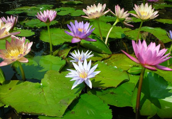 Tropical water lilies for more information on pond and for Using pond water for plants