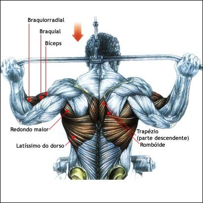 Pulley Costas: Este exercício, excelente para desenvolver as costas em largura, trabalha o grande dorsal (principalmente suas fibras externas e inferiores) e os redondo maiores. São também solicitados os flexores dos cotovelos (bíceps braquial, braquial e braquiorradial), assim como os rombóides e a parte descendente do trapézio, este dois últimos atuando na aproximação das escápulas