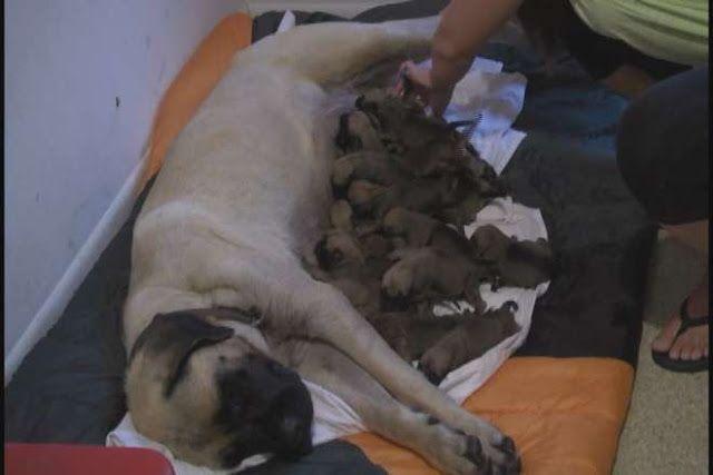 Teneri cuccioli Notizie: MASTINO PARTORISCE 17 CUCCIOLI, È RECORD IN TEXAS:...
