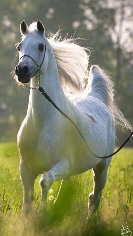 472 besten araber bilder auf pinterest pferde sch ne. Black Bedroom Furniture Sets. Home Design Ideas
