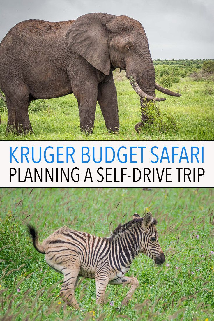 A self-drive safari in Kruger National Park is the cheapest way to go on safari in South Africa. It's easy, affordable and there's a huge variety of wildlife to see. Click through to learn everything you need to know to plan the perfect Kruger self-drive trip including costs, itineraries and the best rest camps. Travel in Africa.