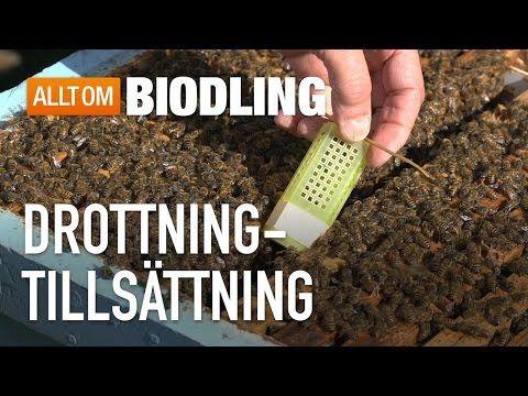 Byta bidrottning i bisamhälle – Allt om biodling