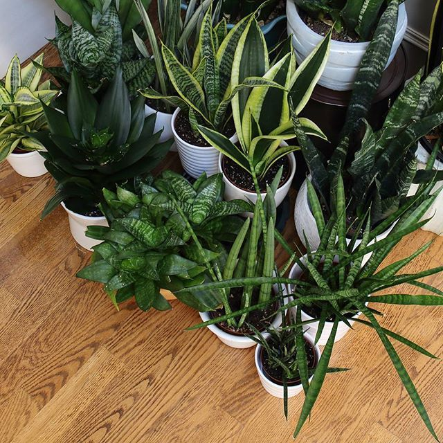 25 Best Ideas About Snake Plant On Pinterest Indoor