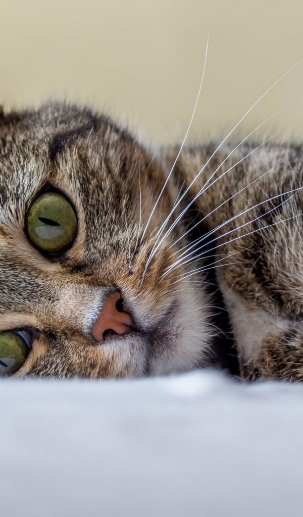 Скачать обои кошка, кот, котенок, полосатый, отдых, раздел кошки в разрешении 600x1024