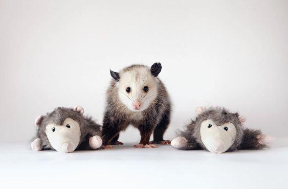 Poppy the #Possum Proves That Every Pet is #Beautiful http://ibeebz.com