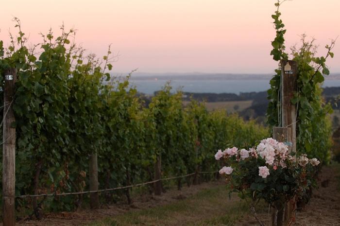 Mornington Peninsula_Vineyards and Wineries_Red Hill Estate, Victoria, Australia.