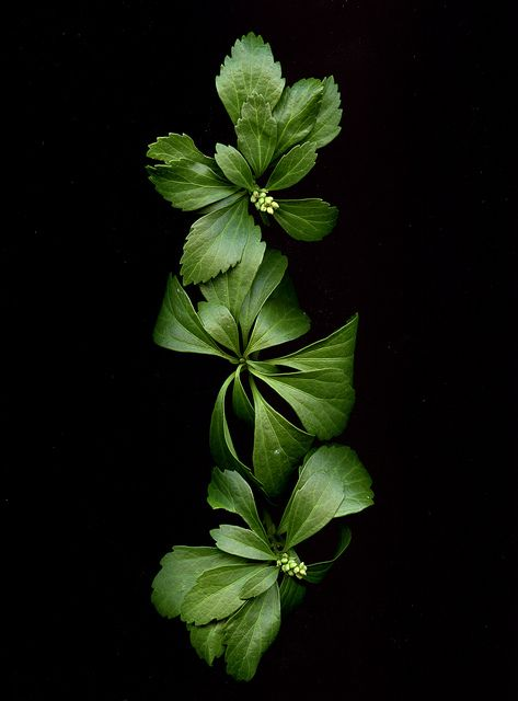 54876 Pachysandra terminalis by horticultural art, via Flickr