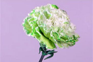 Easy green carnations for St. Patrick's Day!