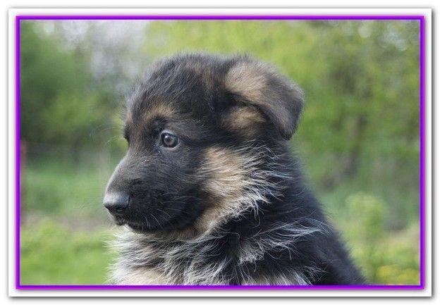 Best Dry Dog Food For German Shepherd Puppies Uk German Shepherd