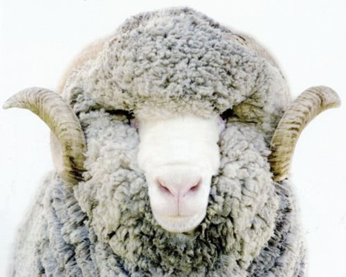 #sheep #wool #closeup #natural #neutral #resource