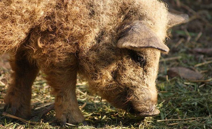 The Mangalitsa Pig: Royalty is Coming to America
