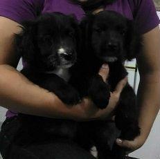 vendo cachorros cocker spaniel son dos varones color negro ya desparacitados cariñosos y juguetones los vendo en $50 mas informacion al 7117-5826
