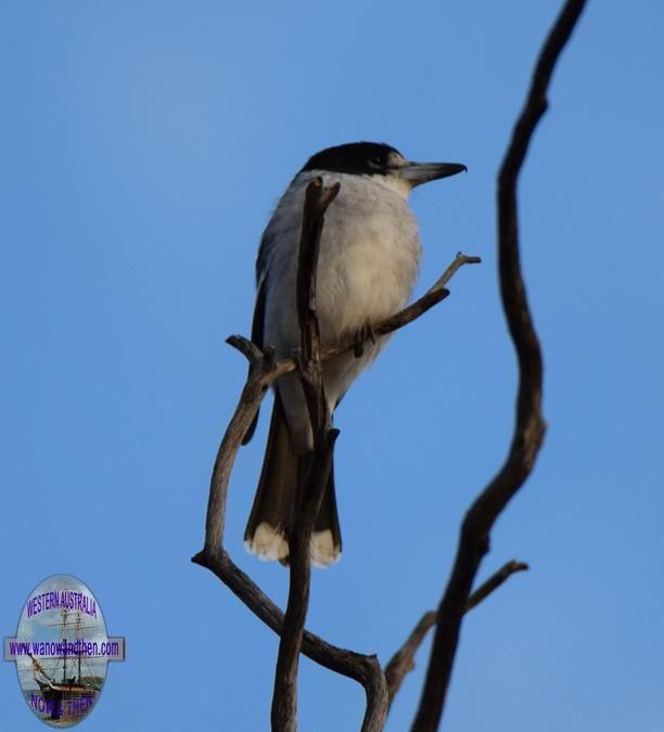 Butcher bird - BIRDS OF WESTERN AUSTRALIA | Western Australia | www.wanowandthen.com