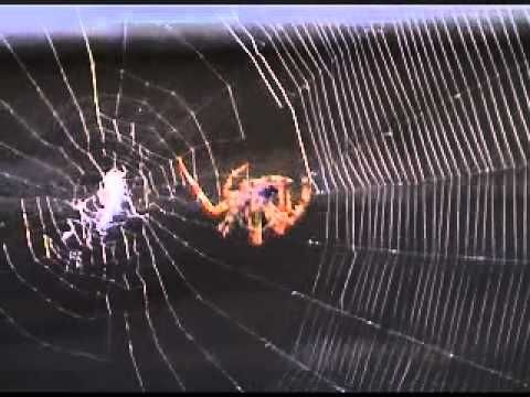 Close-up of Spider spinning it's web detail seen Clearly.wmv filmed © by Andy E Rae - YouTube