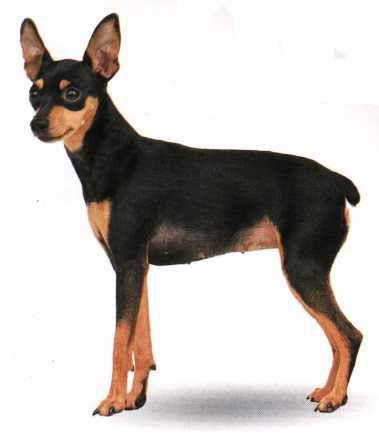 Pinscher Miniatura perro Pinscher Pinscher