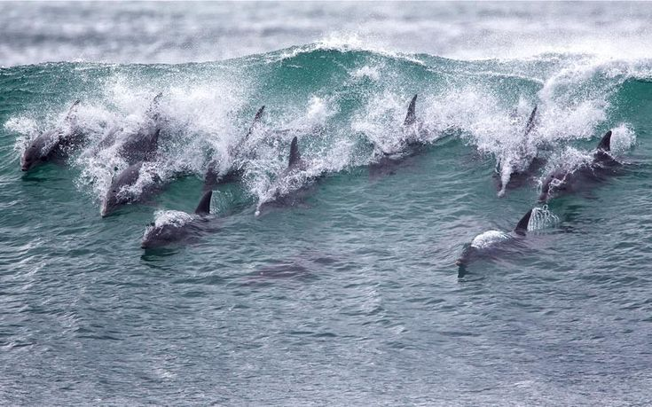 A pod of dolphins surf a wave in Jeffreys Bay, South Africa (Stan Blumberg/Barcroft Media)