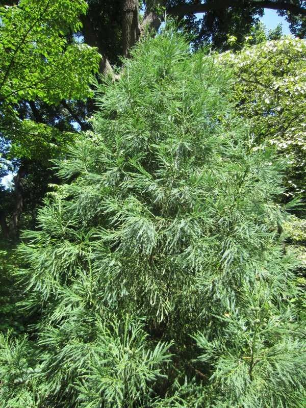 Cryptomeria japonica 'Yoshino. Height: 30-40 feet. Spread: 20-30 feet. Notes: probably the most cold tolerant of the Cryptomerias, fast growing, one of the best for holding its color through the winter.