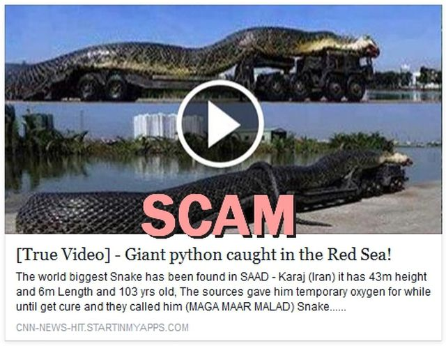 """""""Giant Python Caught in the Red Sea"""" Video Is a Scam: As shared on Facebook, Sep. 17, 2014:"""