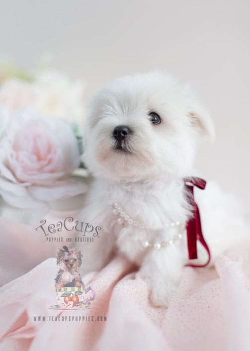 Gorgeous Maltese Puppy 025 Maltese Dogs Teacup Puppies Maltese