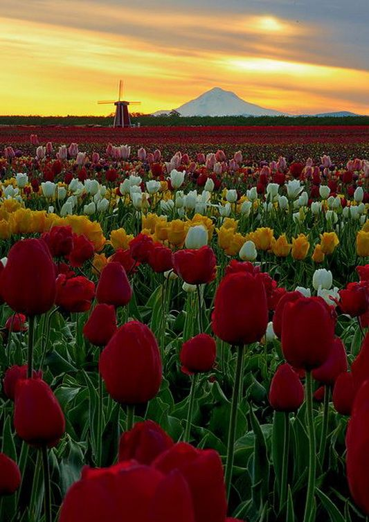 Sunset over Tulip Fields, Woodburn, Oregon: