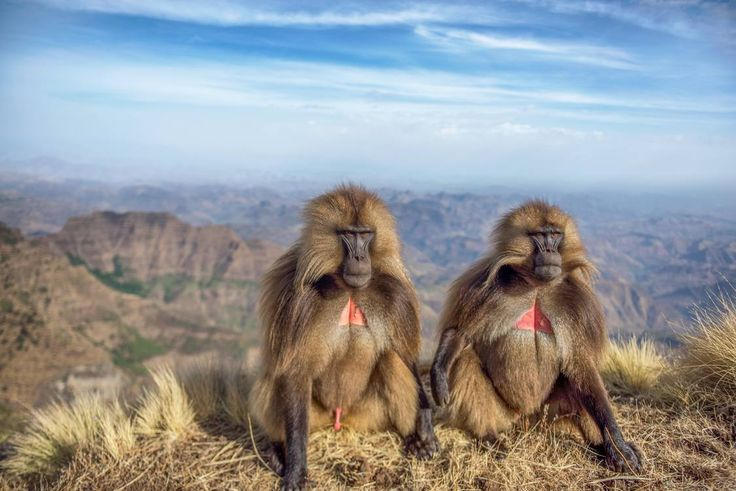 Two baboons photographed by Bar Kaufman