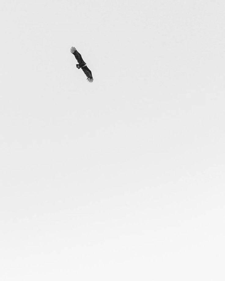 Aquila adalberti // Spanish imperial eagle  Guadarrama Mountains Spain 2017 Jordi NN . . . #eagle #aquilaadalberti #aquila #minimalism #bird #blackandwhite #blackwhitephotography #bnw #sierradeguadarrama #photography #monochrome #wildlife #spain #2017 #jordiNN