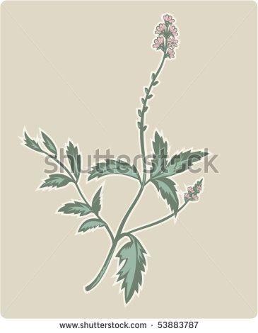 vector  illustration of the  vervain or verbena flowering plant. #verbena #retro #illustration