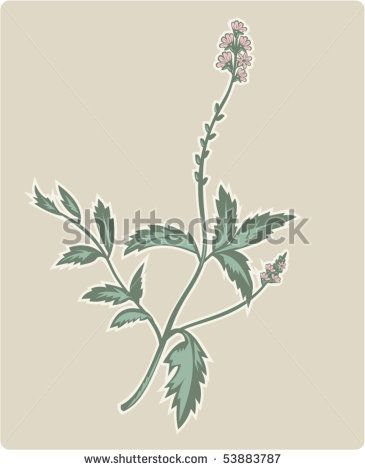 vector  illustration of the  vervain or verbena flowering plant. #verbena #retro #illustration