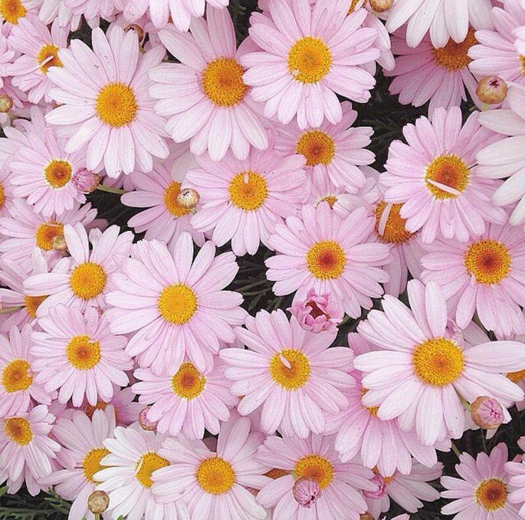 Pretty Flowers Daisies Zara Bloom Alice Beautiful Margaritas Margarita Flower Daisy