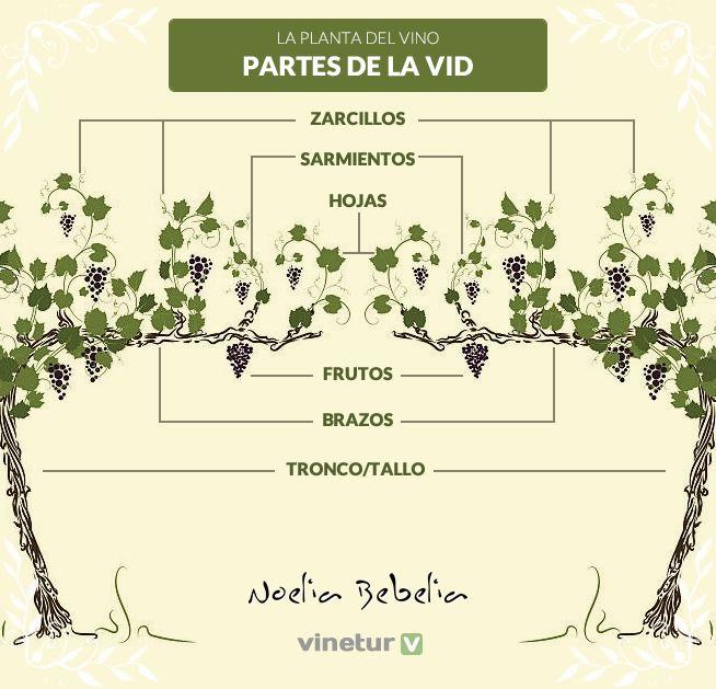 Conocer los aspectos botánicos de la vid es fundamental para reconocer los mejores vinos