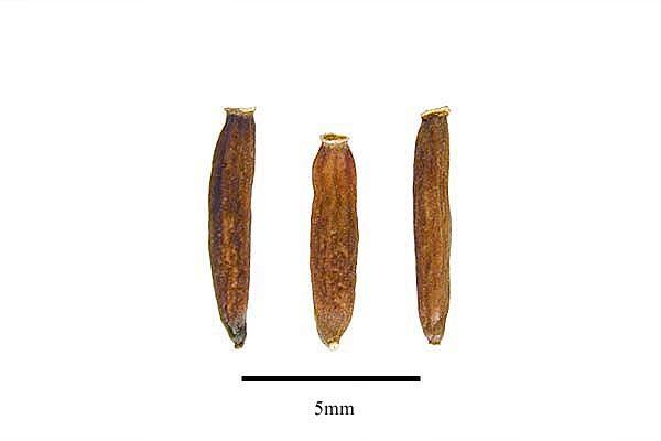 http://www.ars-grin.gov/npgs/images/sbml/Ligularia_pachycarpa_seeds.jpg