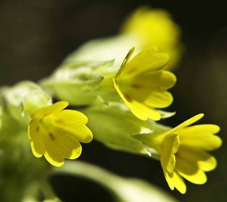Up close and personal to #cowslips. #art_inspiration  #macro #macrophotography #flowerlovers #naturelovers #yellow #spring #plantphotography #walescoastalpath