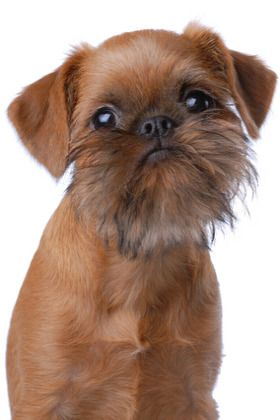 I reeeeeally want our next baby to be a Brussels Griffon! Eric is slowly coming around....been using the angle that its a dog with a beard!