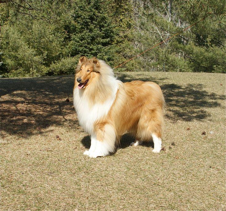 Ch Ennismoor's Xscape Rough collie, Collie dog, Collie