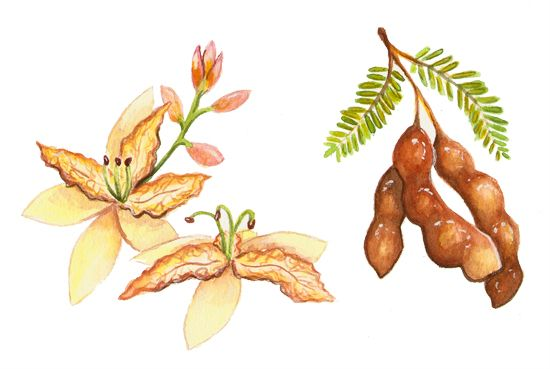 Tamarind, Commission by Alicia Severson Illustration and Design