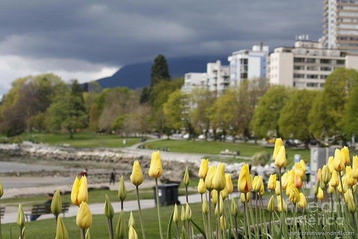 From #Amsterdam back to #Canada - #love the #Dutch tulips in #Vancouver. Prints for sale at creativewindmill.com or check #linkinbio #pictureoftheday #fineartphotography #yvr #canada150 #travel #traveling #nofilter #vacation #visiting #instatravel #instago #instagood #trip #holiday #photooftheday #fun #travelling #tourism #tourist #instapassport #instatraveling #mytravelgram #travelgram #travelingram
