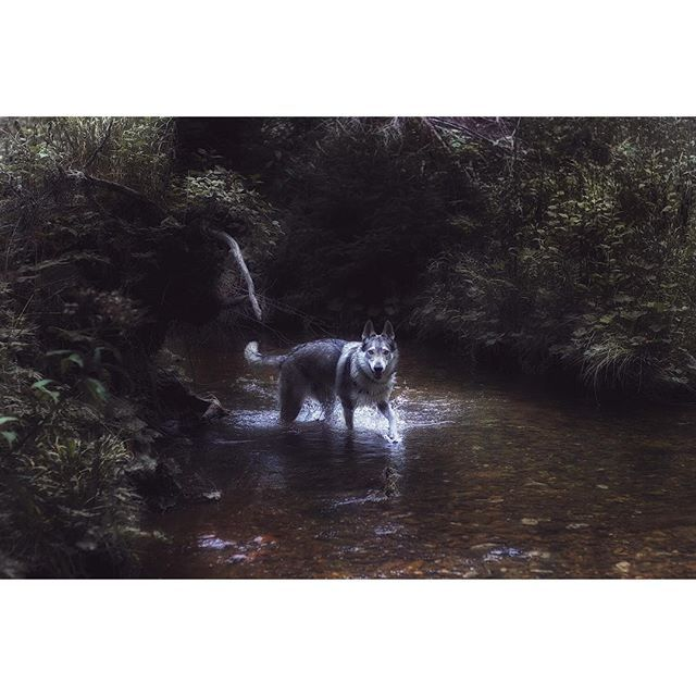 Early morning blast. There's something sweet about wolfdogs loving water :) We…