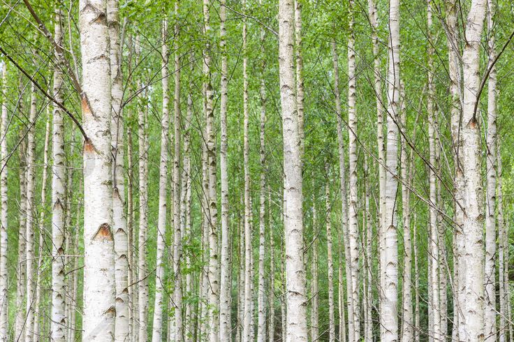 White Birch Forest - Fototapeter & Tapeter - Photowall
