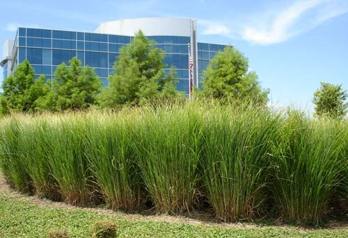 161 best images about hiding privacy outside on pinterest for Ornamental grasses that grow tall