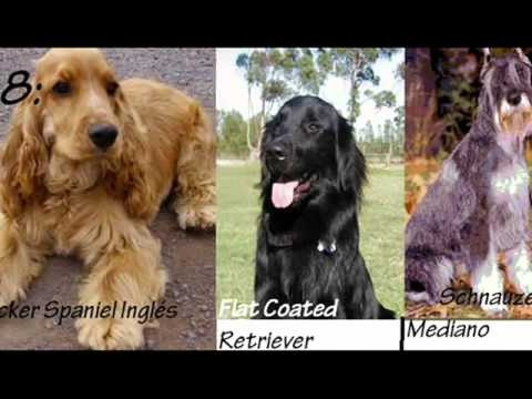 ranking de inteligencia canina segun su raza del 11 al 26 (2do video)