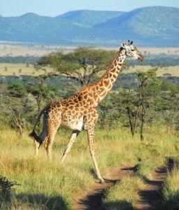 Giraffe facts for kids!