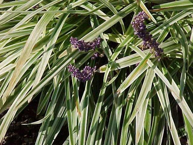 1000 images about low maintenance shrubs on pinterest for Perennial garden maintenance