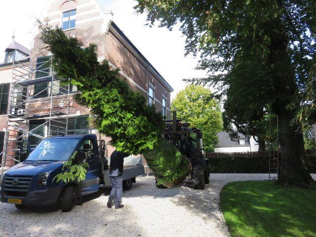 Grote solitair Thuja Brabant van Ten Hoven Bomen gaat naar een achtertuin