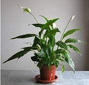 Komeaviirivehka - Spathiphyllum Floribundum-ryhmä - fredskalla