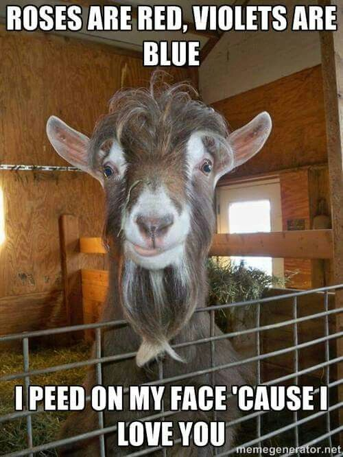 Funny Pictures Of Goats they pee on the...