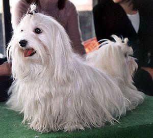 Malteser (Hunderasse)