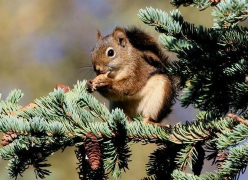 Red Squirrels are very vocal. They bark at intruders, including humans, and can bark continuously for more than an hour if they are annoyed. They also chatter, especially to stake out a territory and protect their stored food supply (conifer cones, which they harvest in great numbers) from other squirrels. (Source: EOL - http://eol.org/pages/347433/overview)